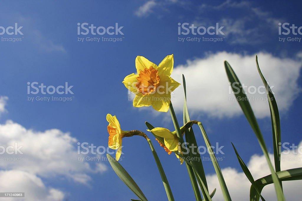 perspective daffodil royalty-free stock photo