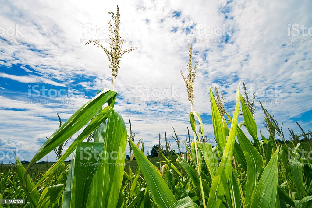 Perspective of a Midwest Corn Field stock photo