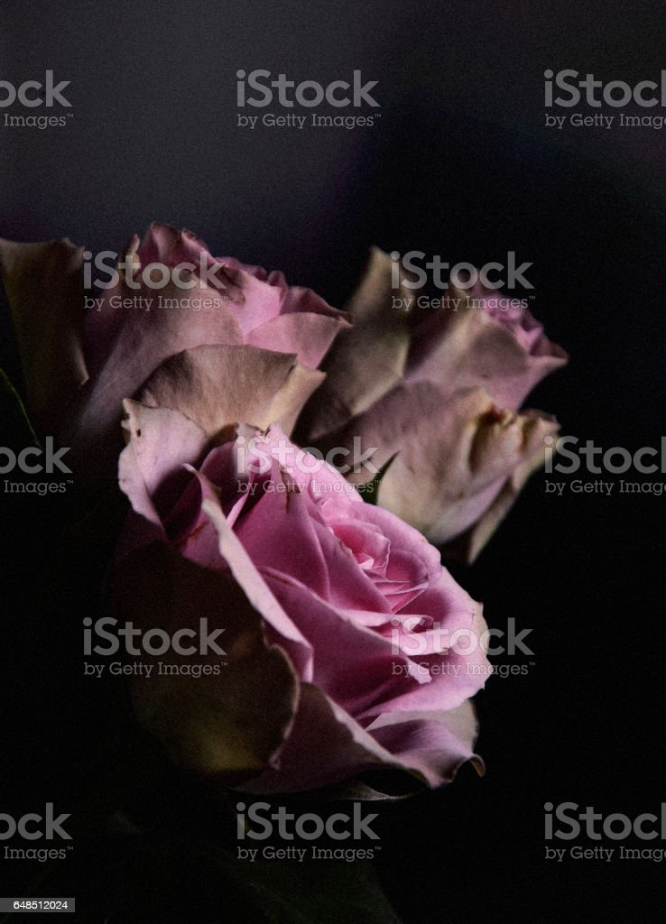 Perspective of roses stock photo