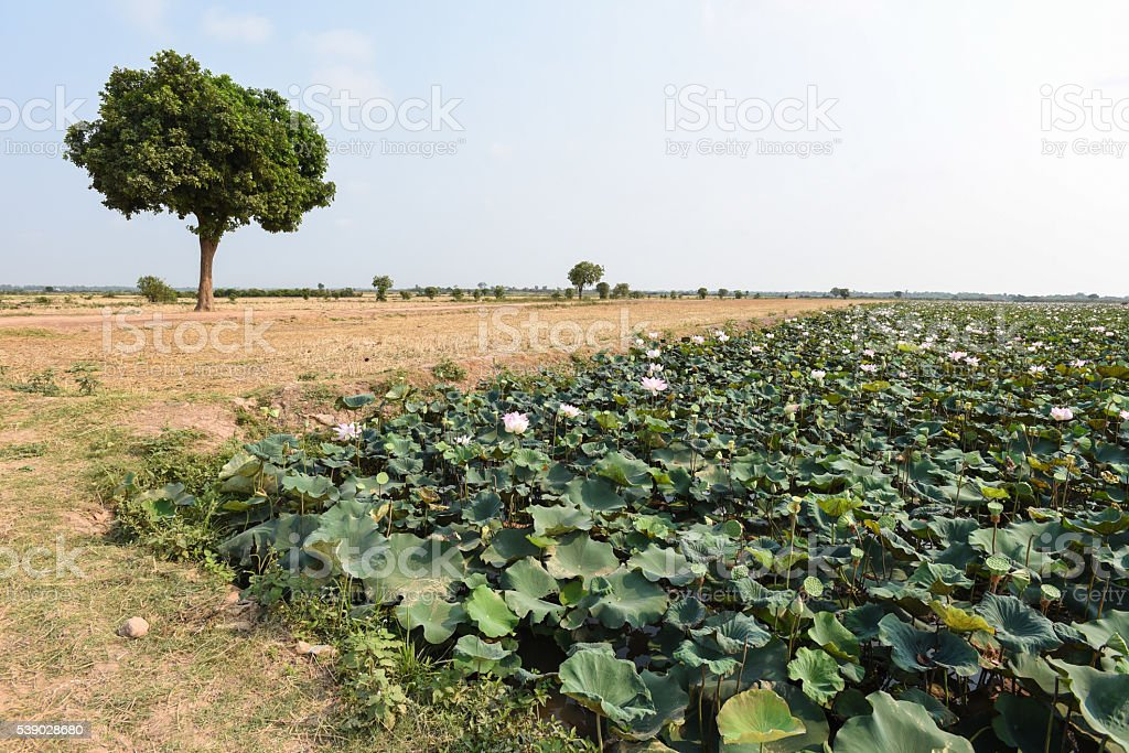 Perspective view of lotus and dry rice field stock photo