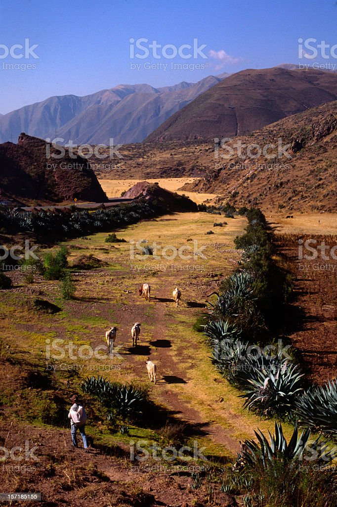 Peru: Altiplano View With Cows and Herder stock photo