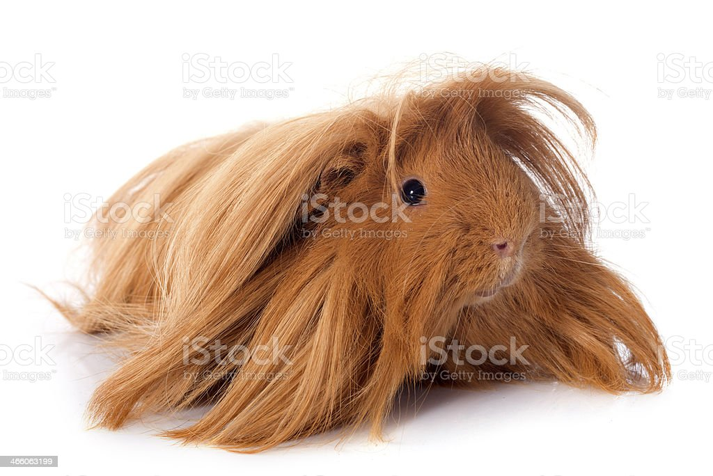 Peruvian Guinea Pig stock photo