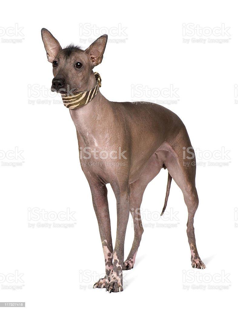 Peruvian Hairless Dog (1 year) stock photo