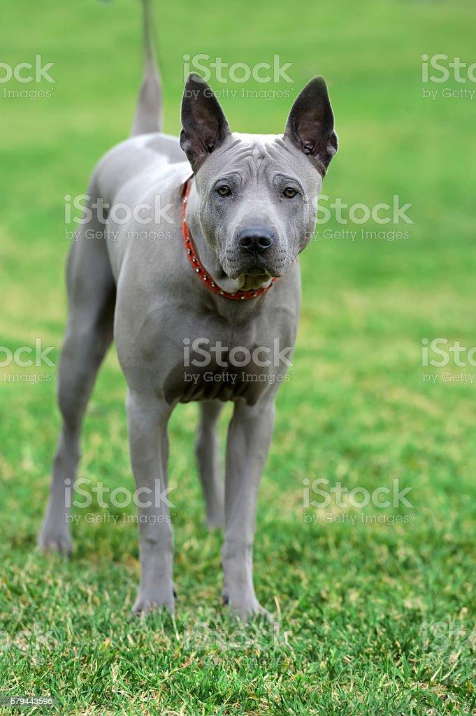 Peruvian Hairless Dog stock photo