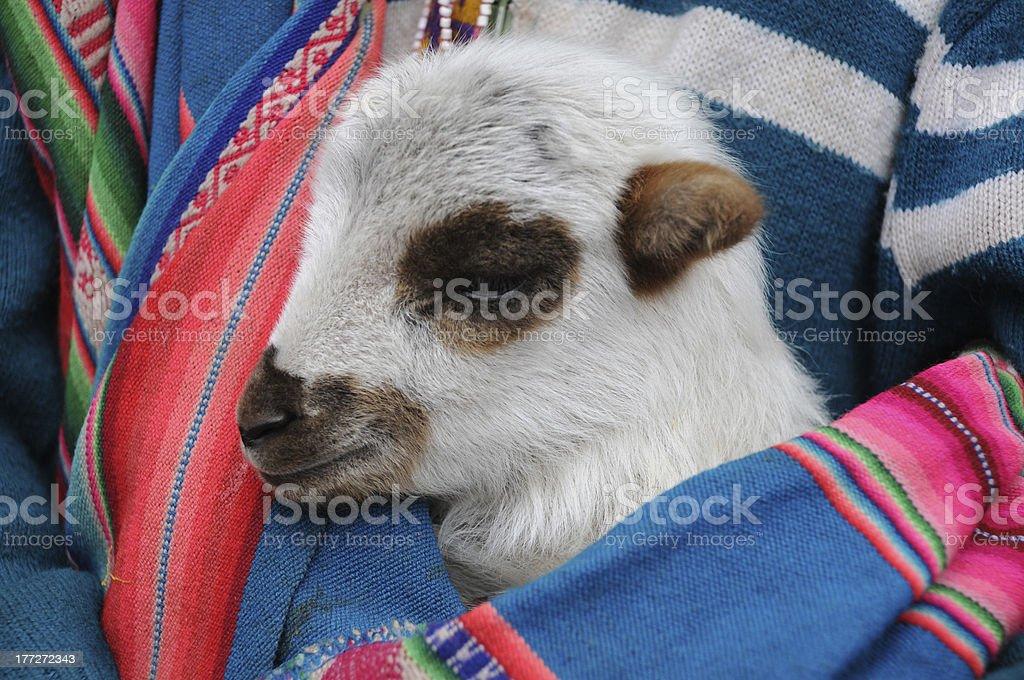 Peruvian lamb under the poncho stock photo