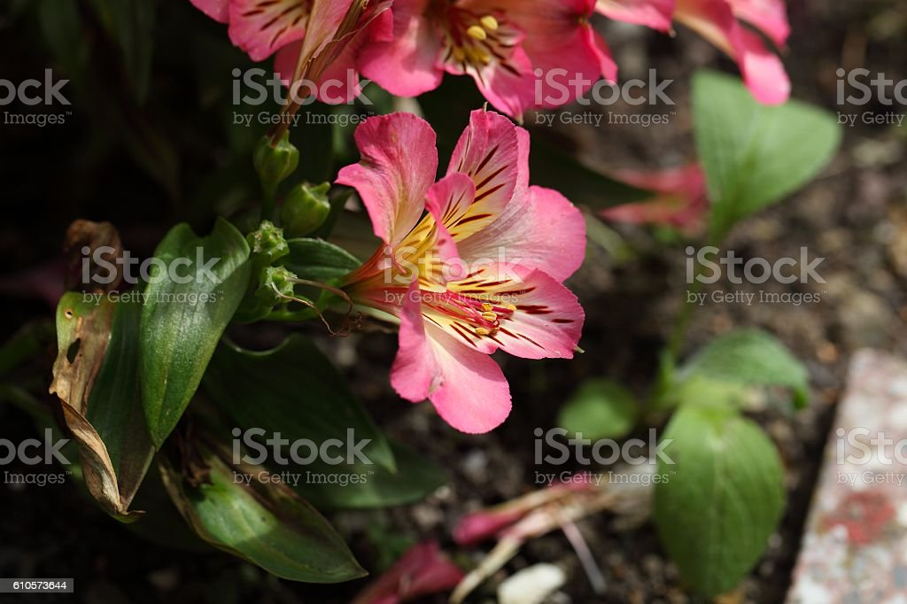 Peruvian lily (Alstroemeria aurea) stock photo