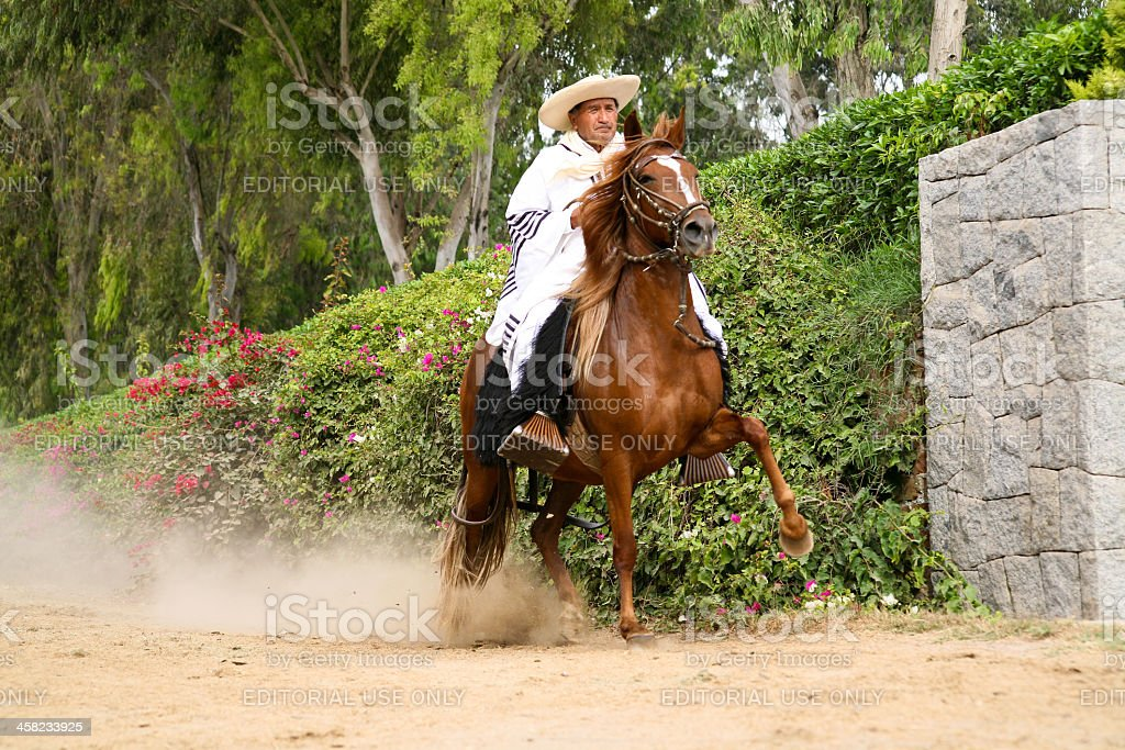 Peruvian Paso Horse demostration stock photo