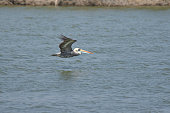 Peruvian Pelican Flying Over Water