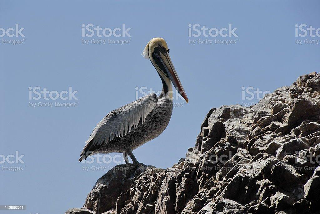 Peruvian pelican royalty-free stock photo