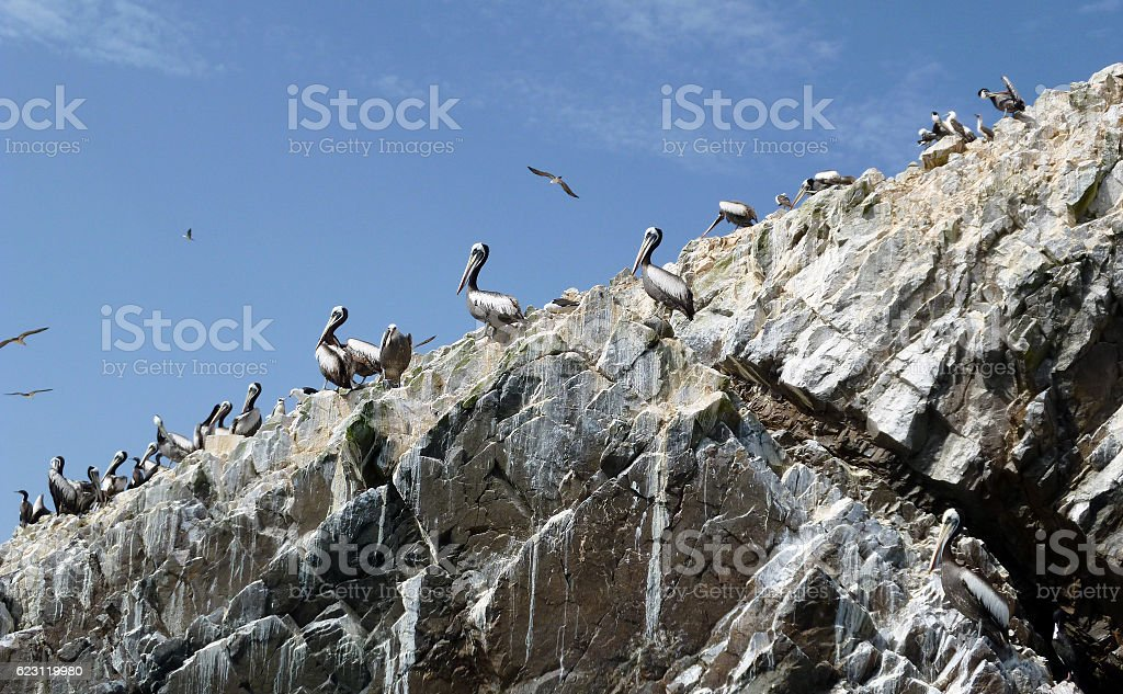 Peruvian pelicans and seabirds in the Ballestas Islands stock photo