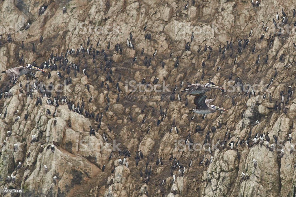 Peruvian Pelicans in Flight stock photo