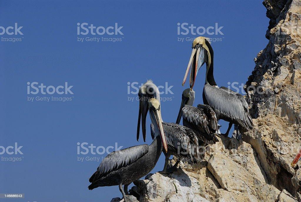 Peruvian pelicans stock photo