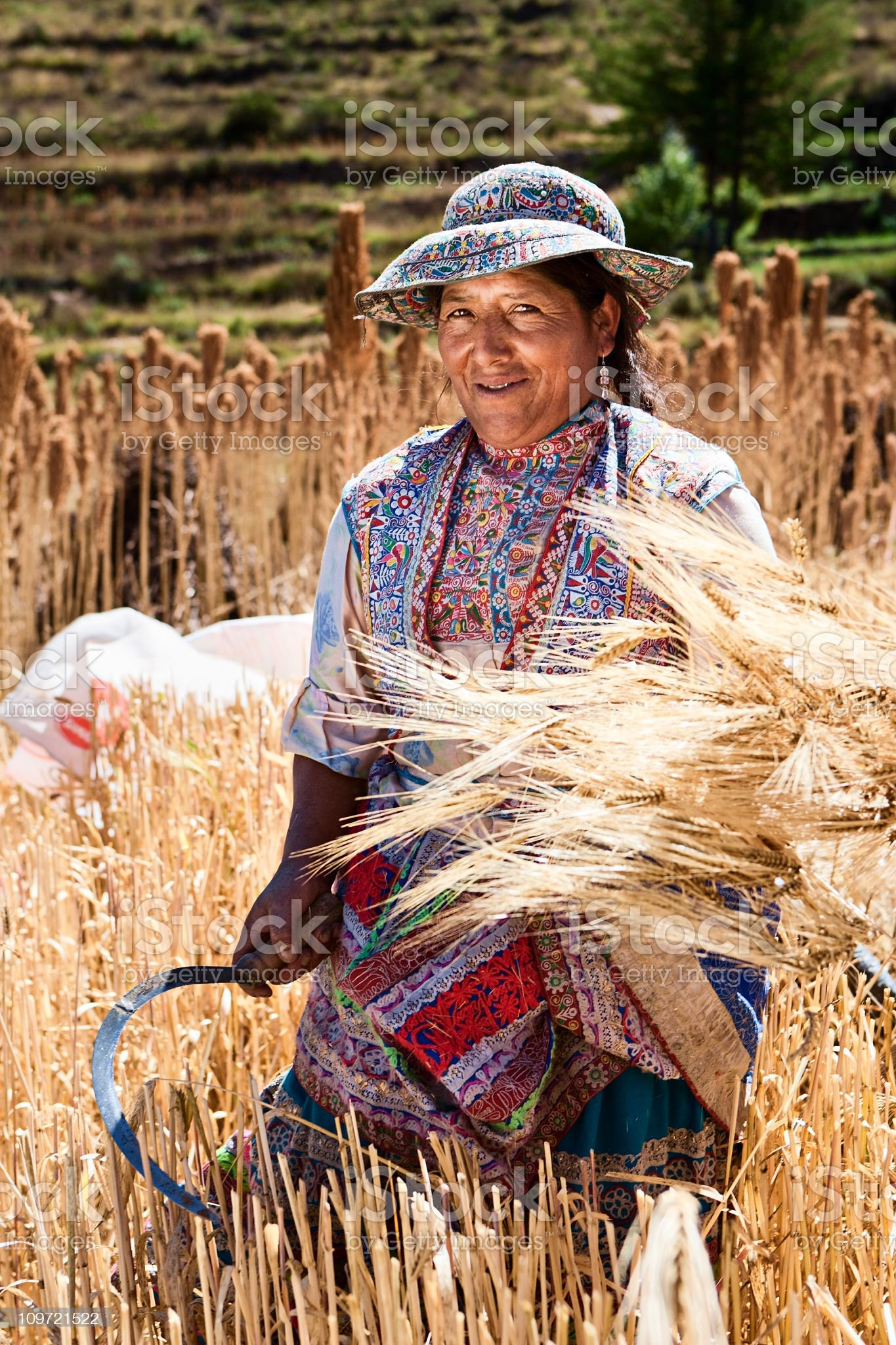 Peruvian woman in national clothing harvesting rye, Colca Canyon royalty-free stock photo