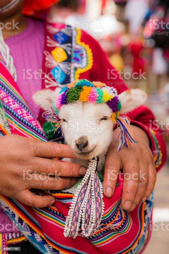 Peruvian woman in traditional clothes holding a baby llama stock photo