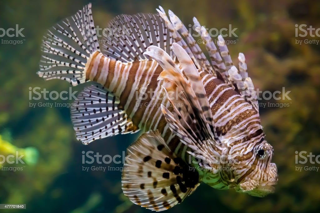 Pesce scorpione o pesce leone (Pterois volitans) royalty-free stock photo