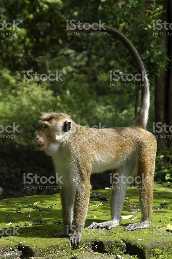 Pesky Monkey Stands on Jungle Wall royalty-free stock photo