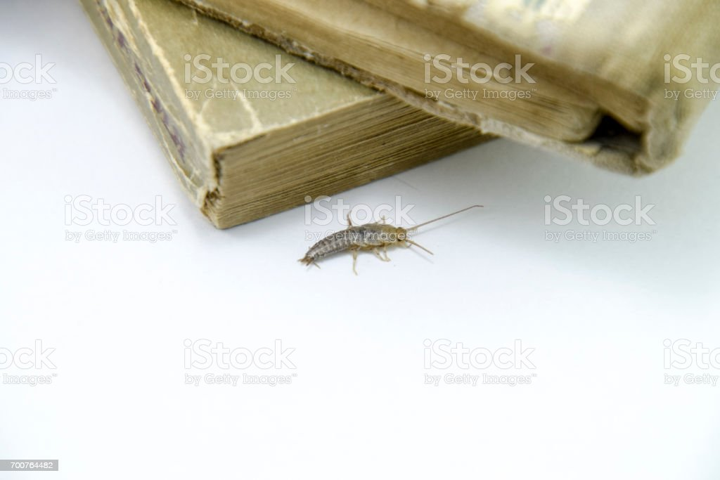 Pest books and newspapers. Insect feeding on paper - silverfish stock photo