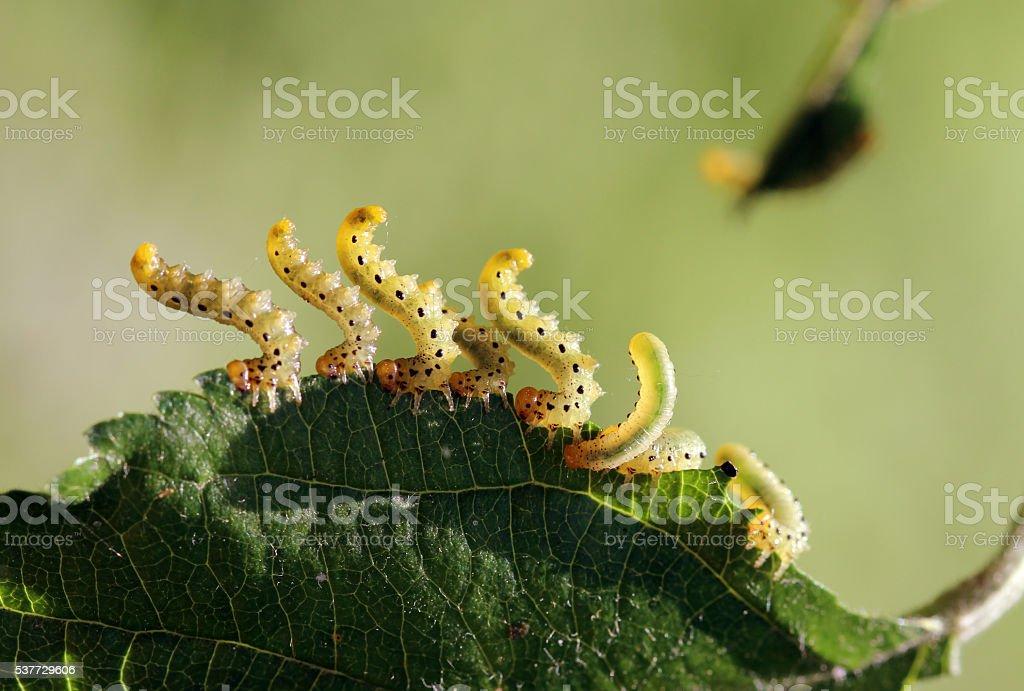 pest caterpillar silk Hyponomeuta malinella stock photo