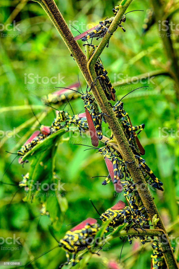 Pest Insects - Group of grasshoppers eating a tree leaf stock photo