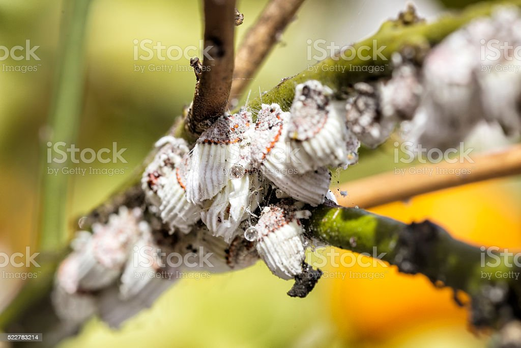 Pest mealybug closeup on the citrus tree. stock photo