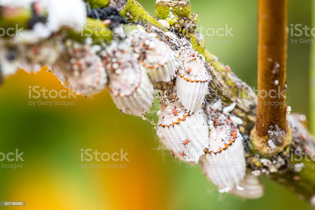 Pest mealybug closeup on the citrus tree stock photo