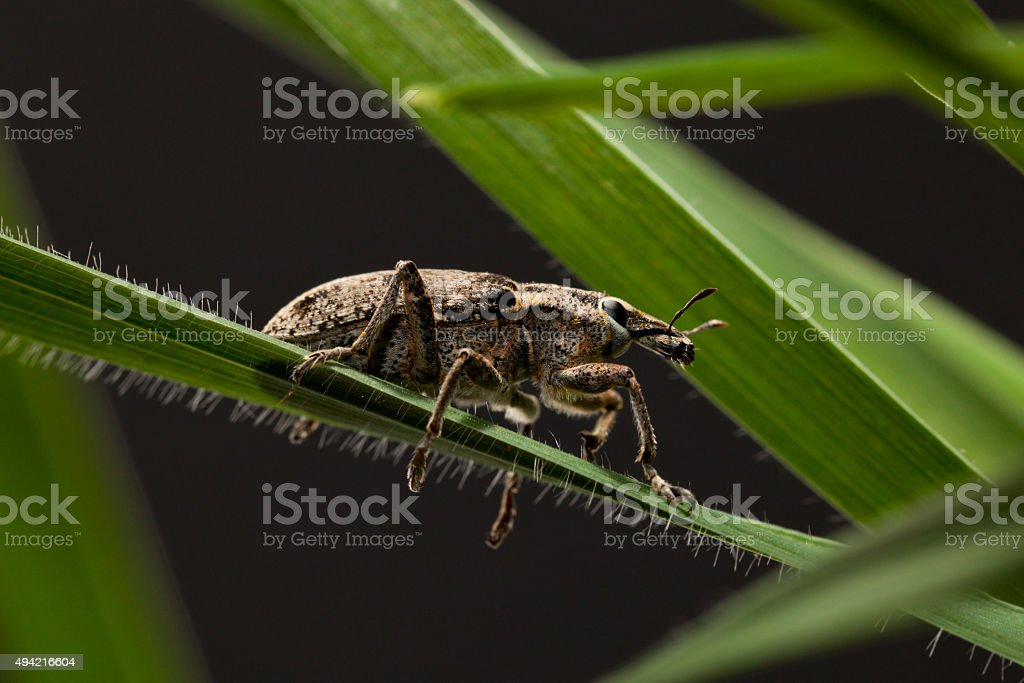 Pest snout beetle on cereal blade stock photo
