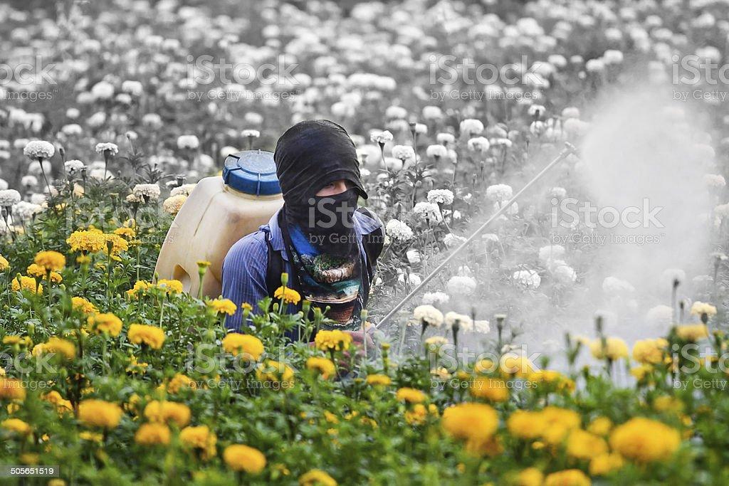 Pesticides in the garden marigold. stock photo