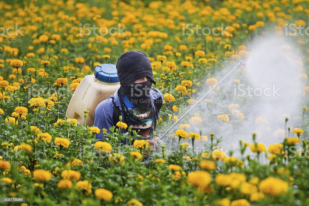 Pesticides in the garden marigold. stock photo