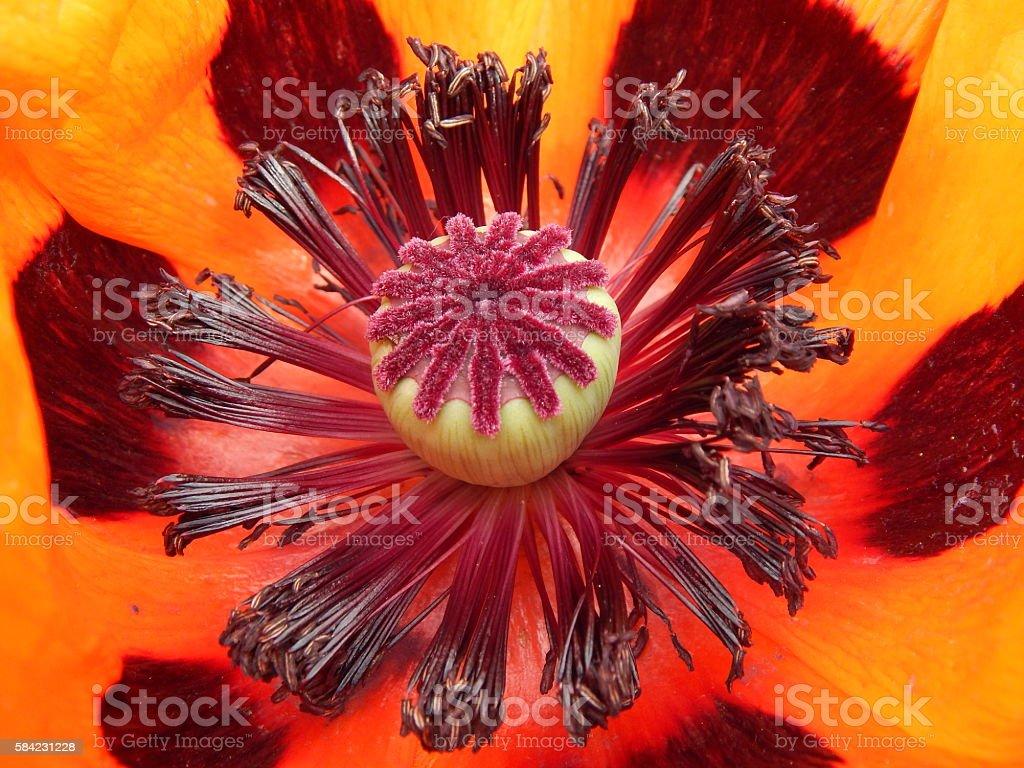 Pestle poppy stock photo