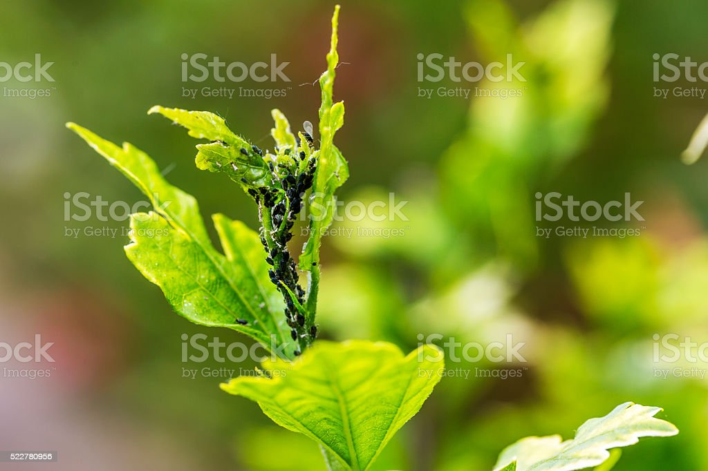 Pests, plants diseases. Aphid close-up on a plant stock photo