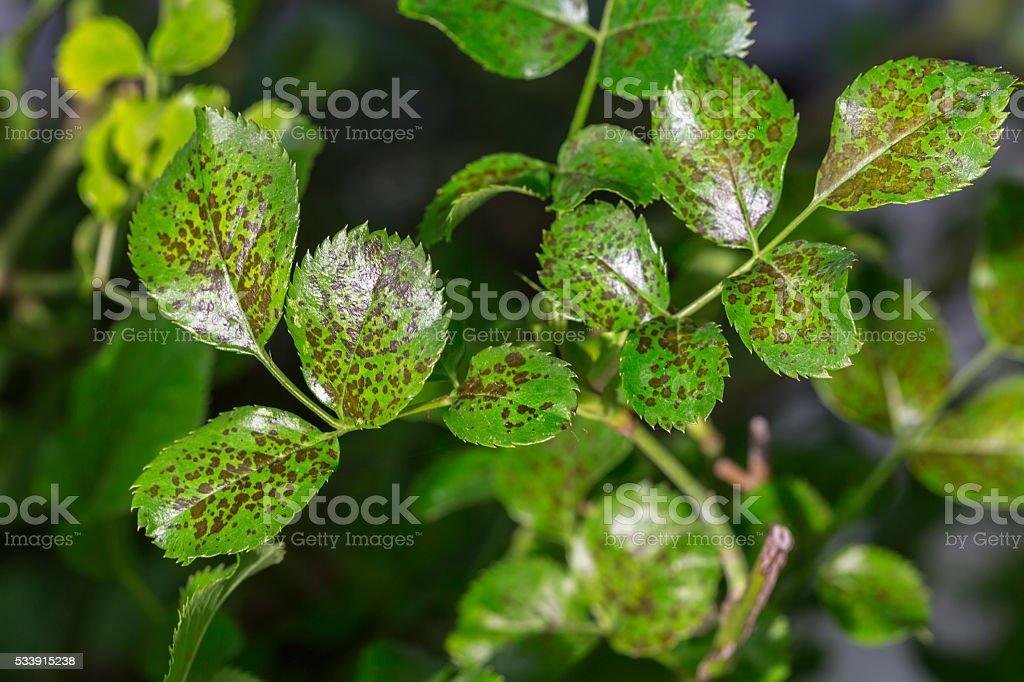 Pests, plants diseases. Leaf spots close-up.  Majority of leaf s stock photo