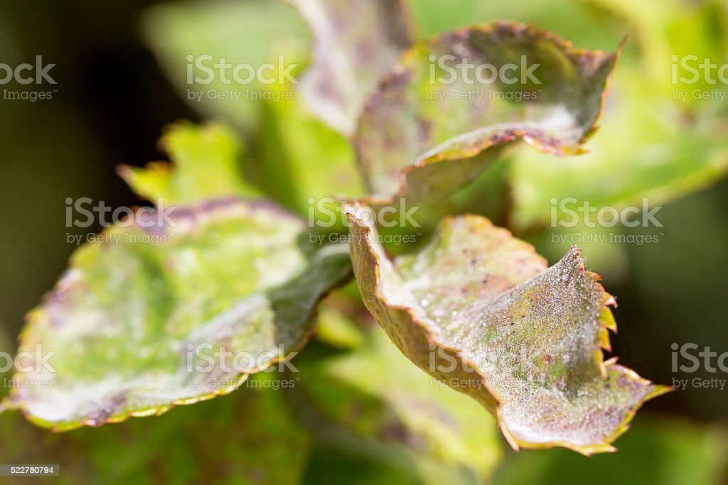 Pests, plants diseases. Powdery mildew close-up stock photo