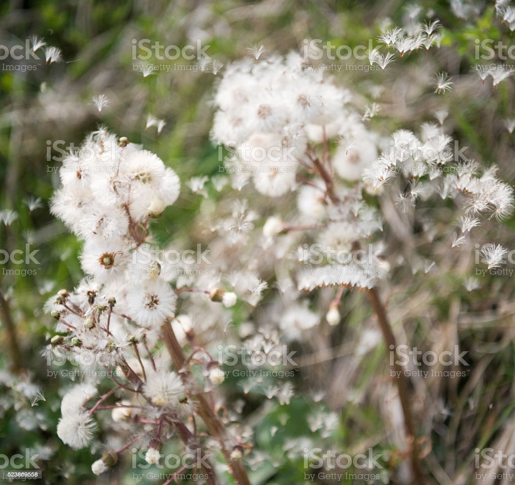 Pestwurz, Butterbur, (Petasites hybridus) spreading its Seeds in the Wind stock photo