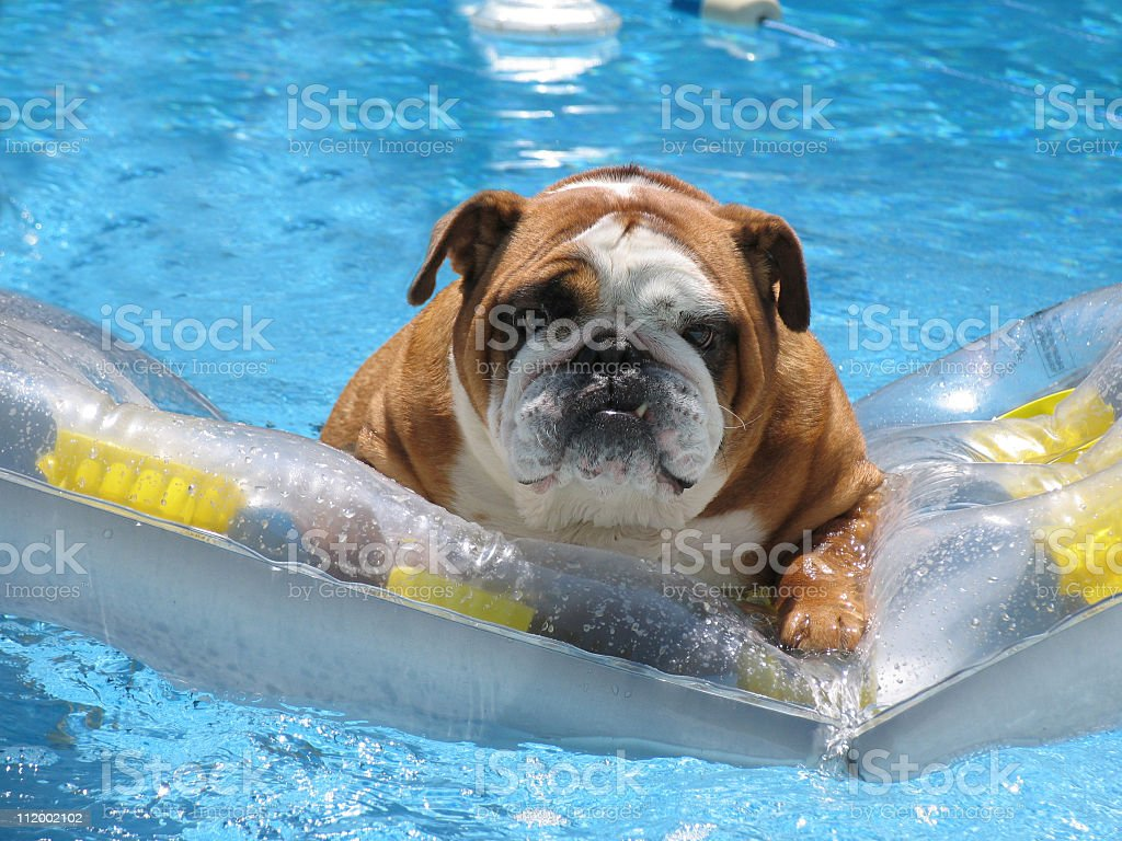 Pet bull dog in swimming pool on family vacation stock photo