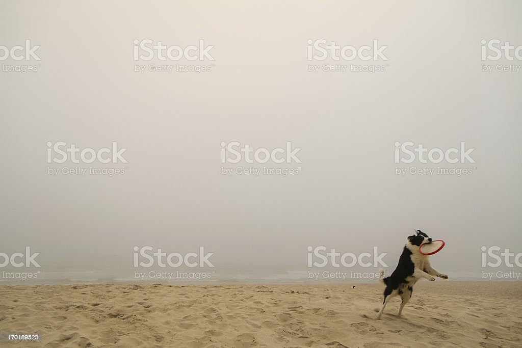 Pet catching frisbee royalty-free stock photo