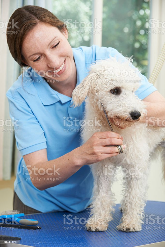 Pet Dog Being Professionally Groomed In Salon stock photo