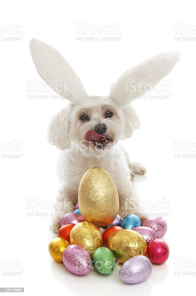 Pet dog bunny ears easter eggs stock photo