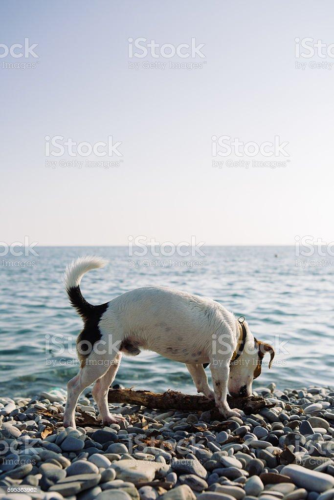 Pet dog gnawing tree branch on stony coast stock photo