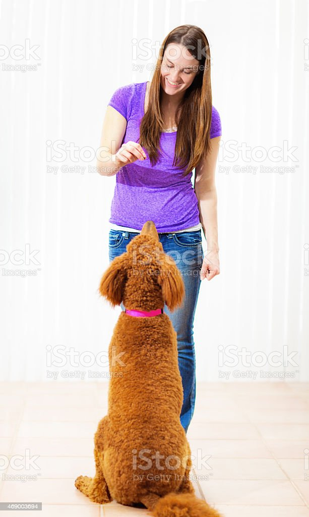Pet Dog Training School, Woman Teaching Standard Poodle stock photo