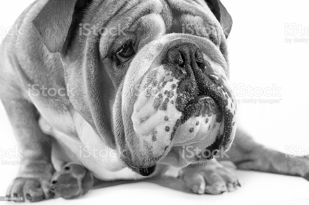 Pet emotions - curious dog royalty-free stock photo