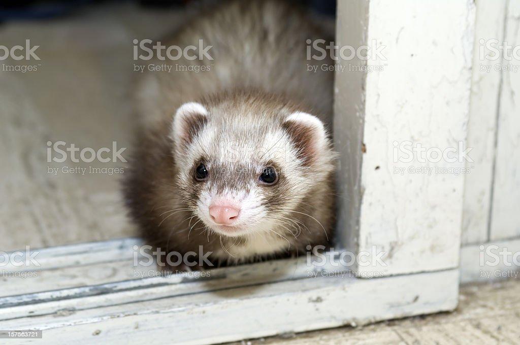 Pet ferret stock photo