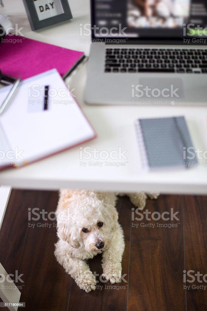 Cute poodle relaxing in pet friendly office under desk