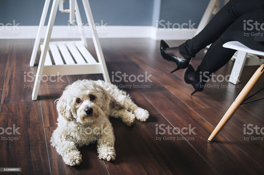 Cute dog under desk in office, business woman with high heels shoes...