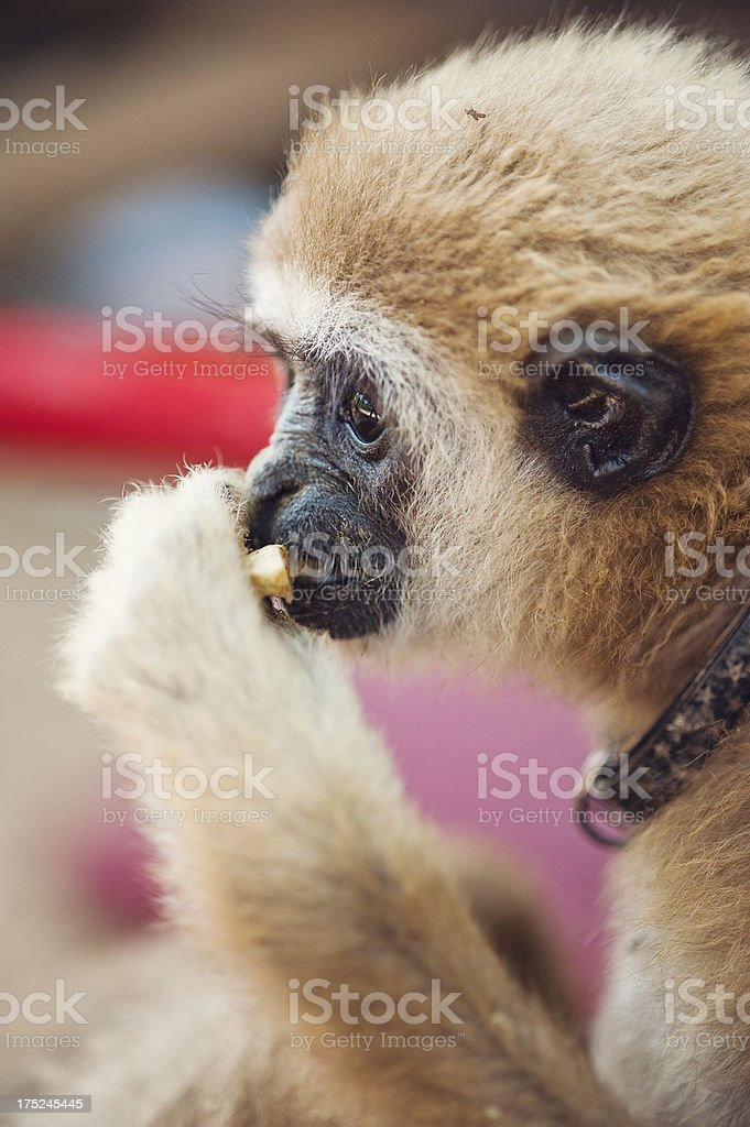 Pet Gibbon Eating an apple. royalty-free stock photo