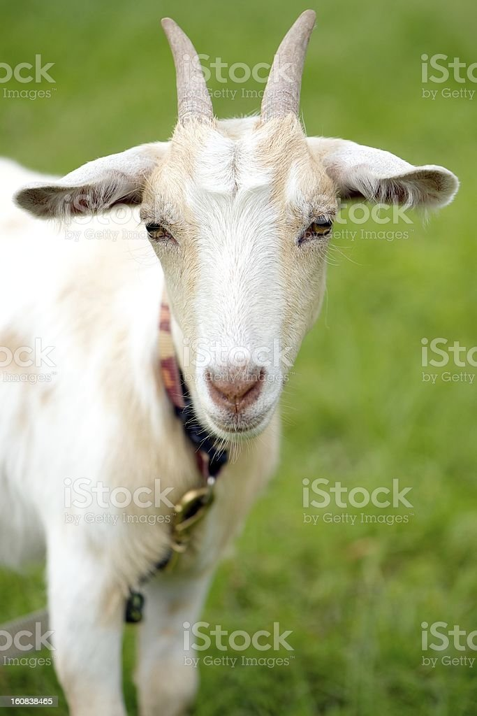 Pet goat on a lead royalty-free stock photo