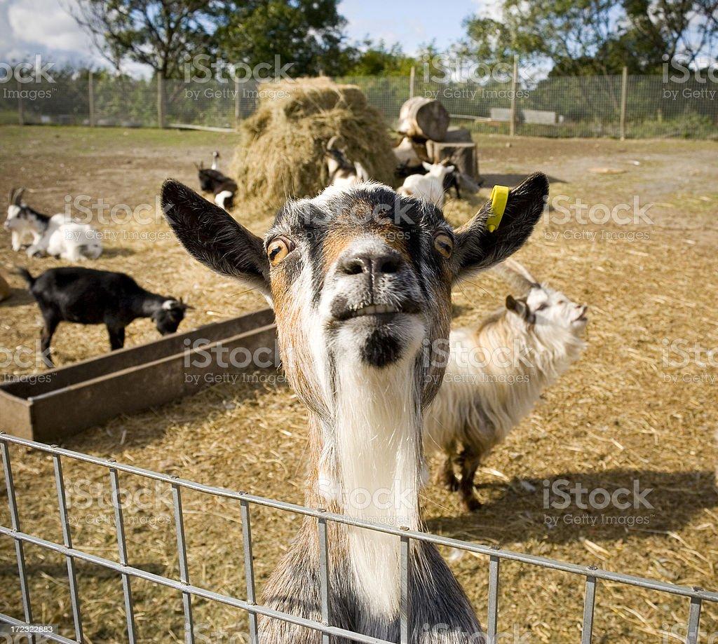Pet Goat stock photo