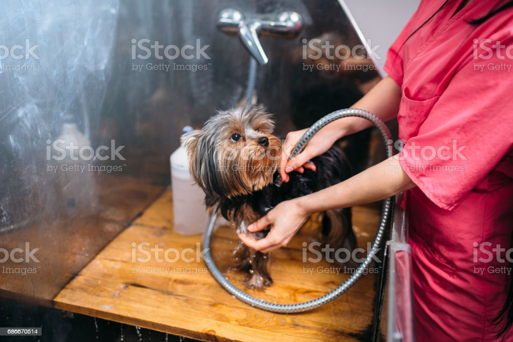 Pet grooming, dog washing in groomer salon. Professional groom and...