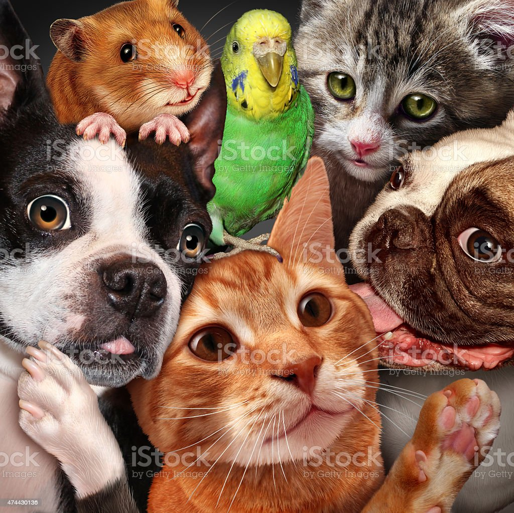 Pet group concept as dogs cats a hamster and budgie gathered together...