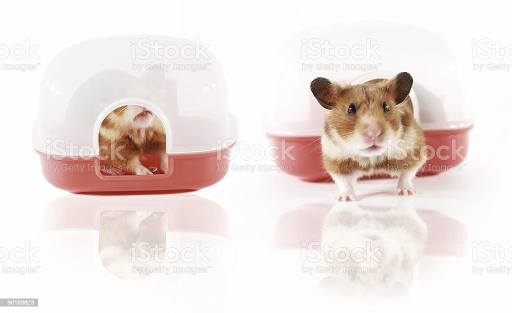 Pet hamster playing in House royalty-free stock photo