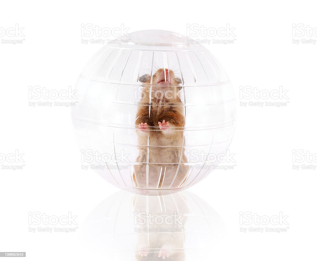 Pet hamster playing stock photo
